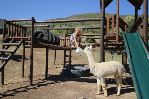 Cape Town, child friendly, things to do, parenting, kids activities, agaaain, outings, childhood, things to do, things to do with kids in Cape Town, things to do with kids near me, things to do with kids this weekend, kids activities this weekend, family adventures Cape Town, children's activities Cape Town, toddlers, the alpaca loom, paarl, llamas, alpacas, animal encounters, winelands